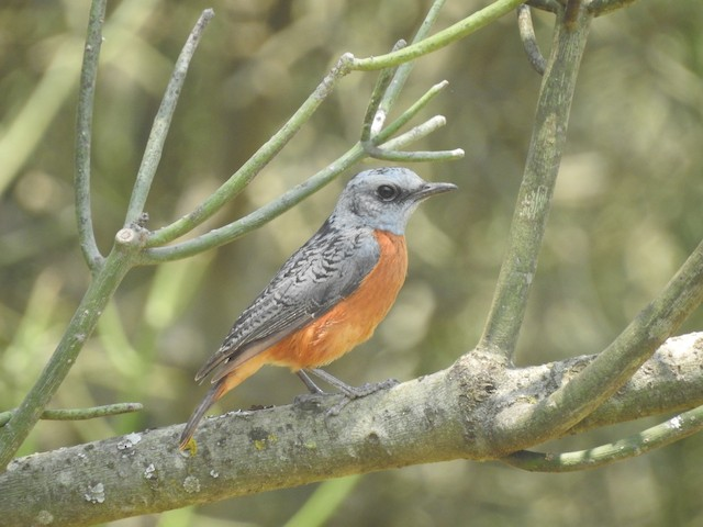 Miombo Rock-Thrush
