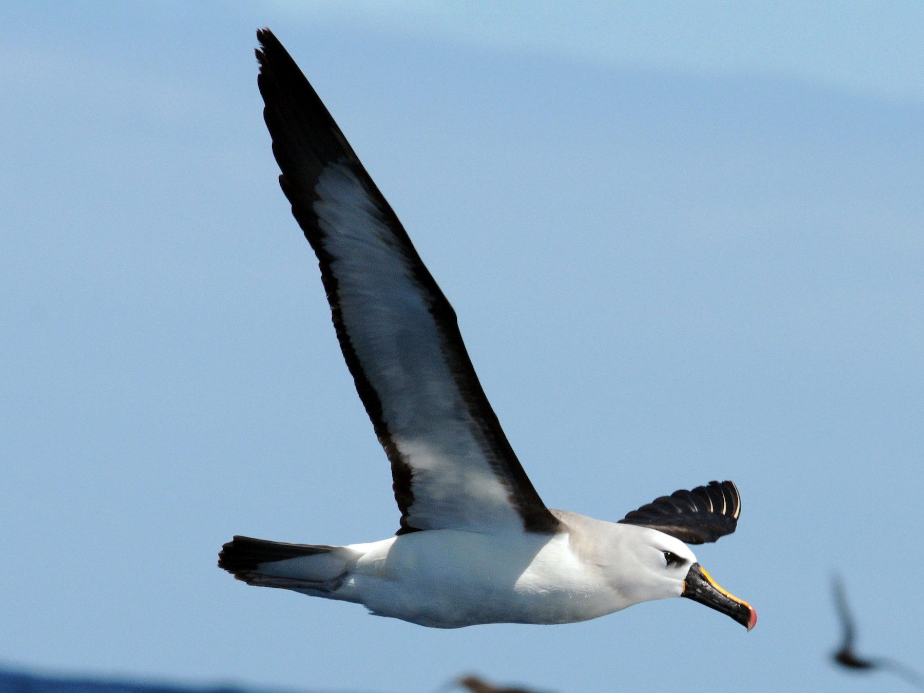 Yellow-nosed Albatross - Clive Harris