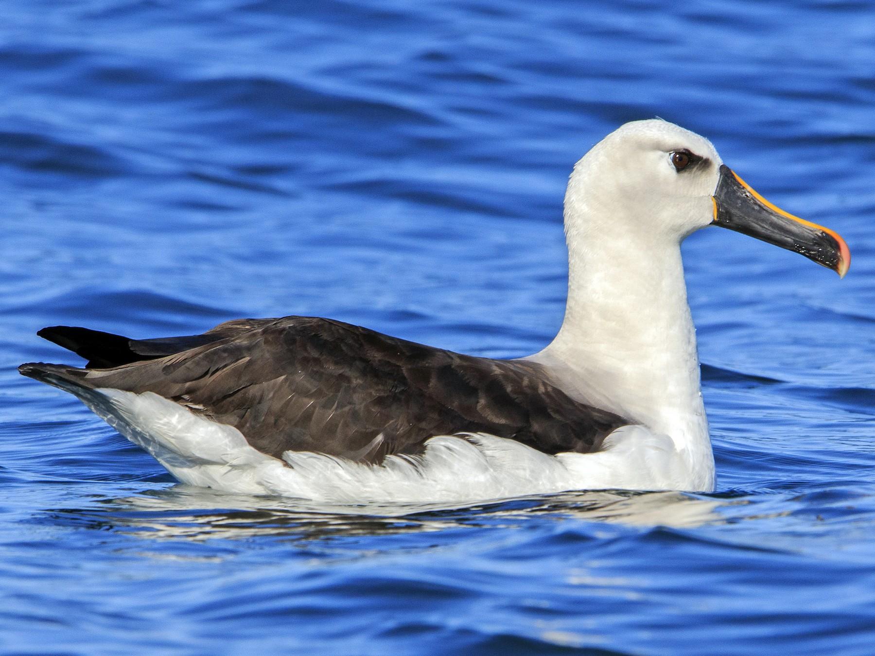 Yellow-nosed Albatross - Fernando Farias