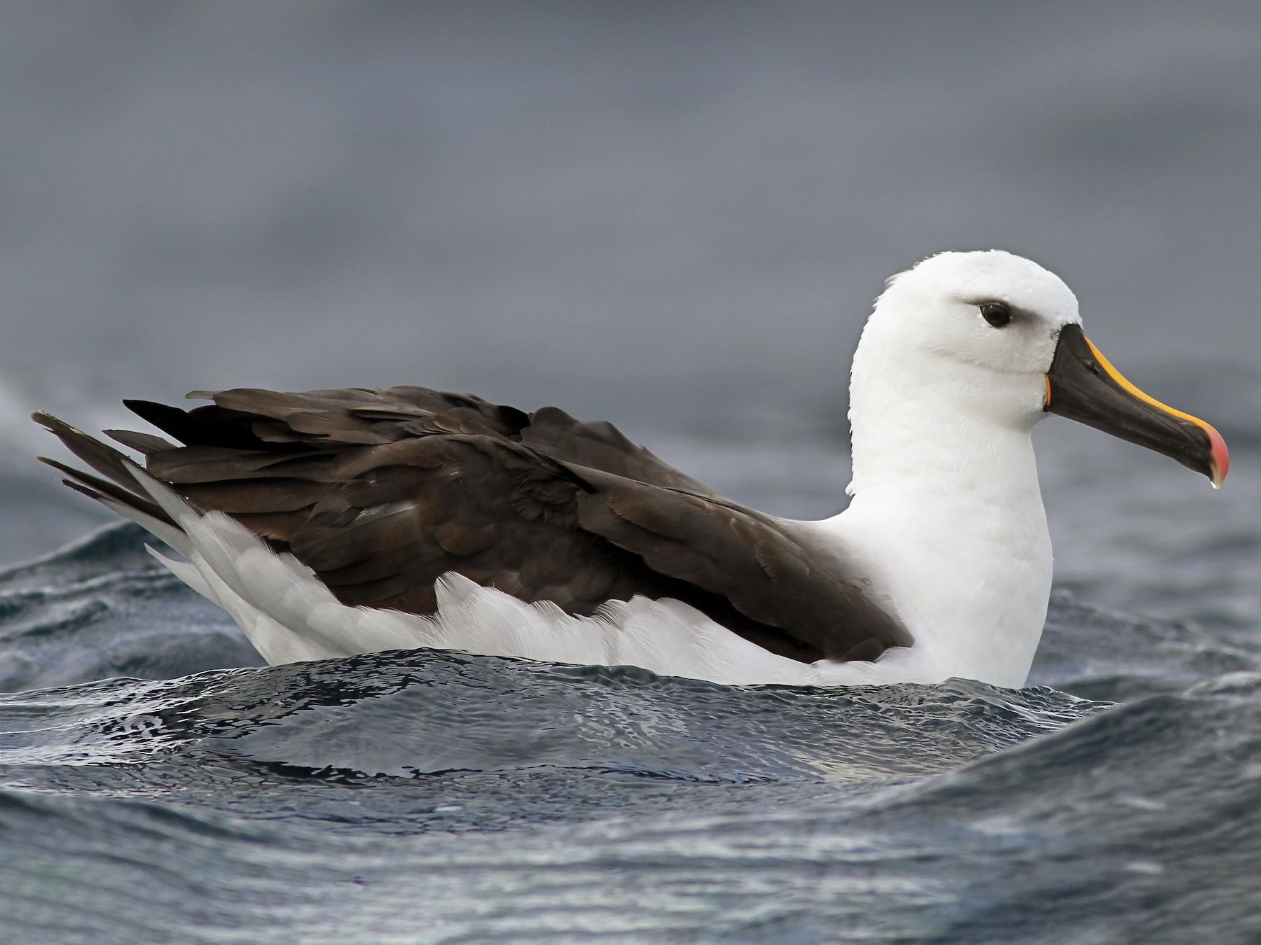Yellow-nosed Albatross - Chris Wiley