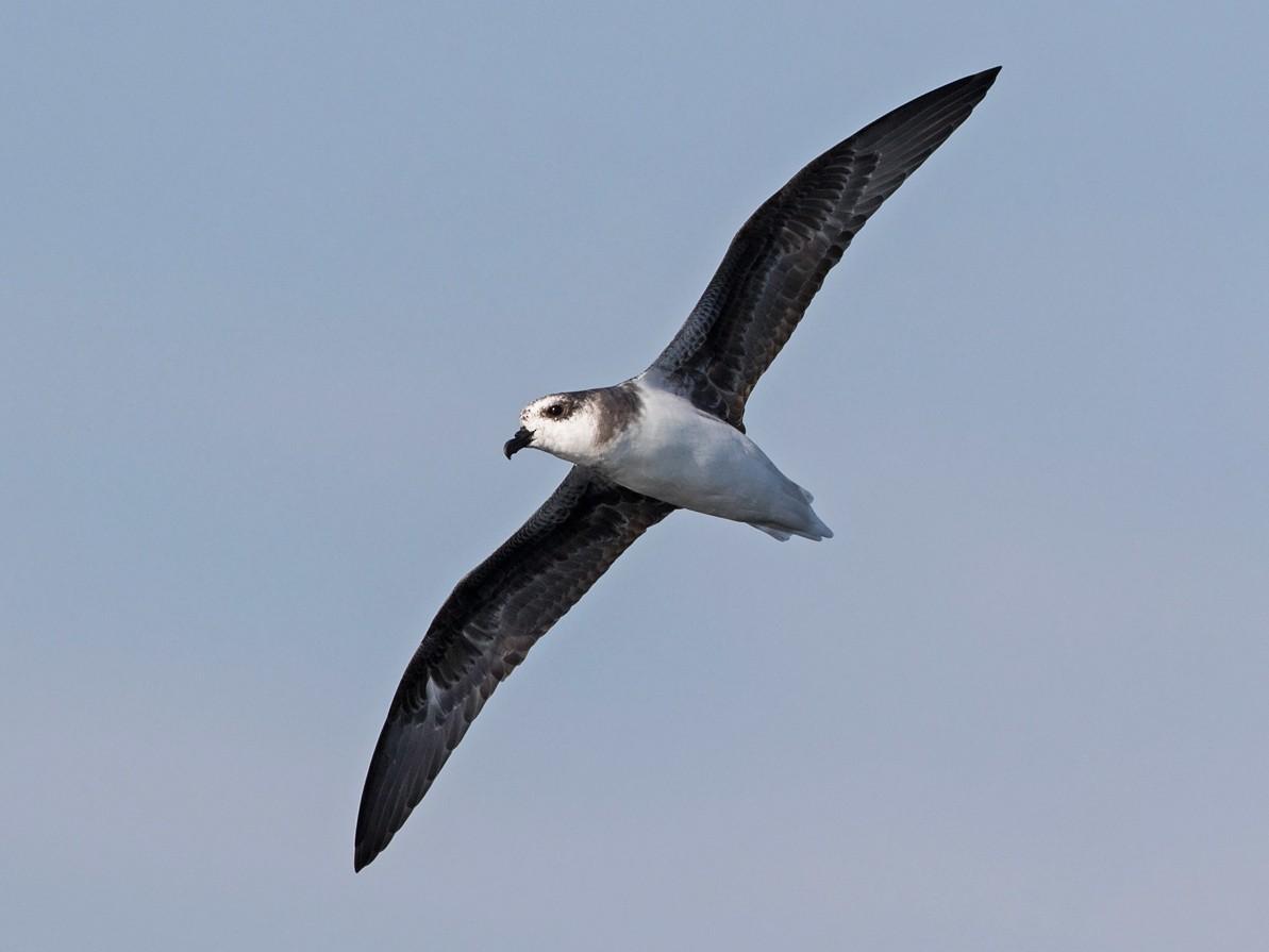 Soft-plumaged Petrel - Niall D Perrins
