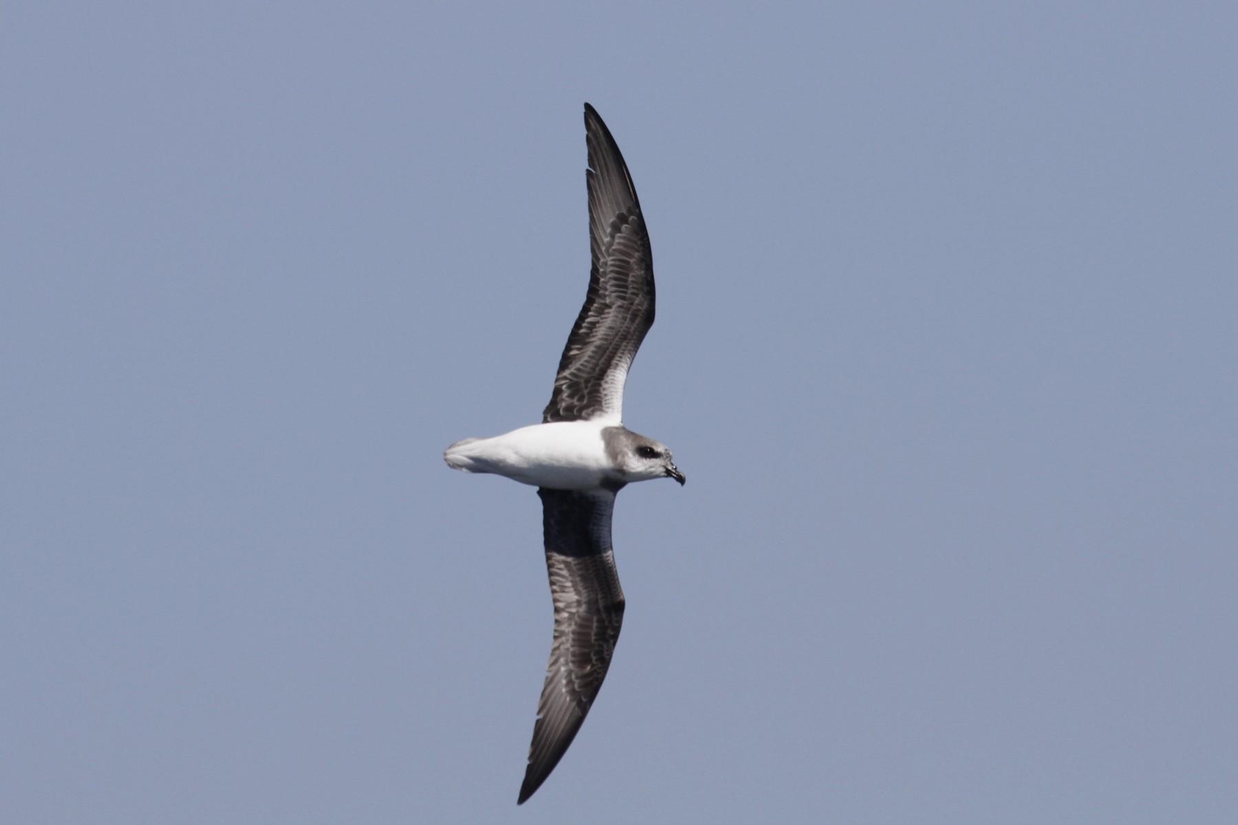 Soft-plumaged Petrel - Paul Brooks