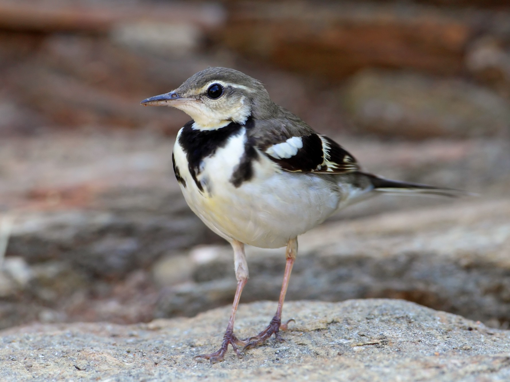 Forest Wagtail - Rohan Clarke