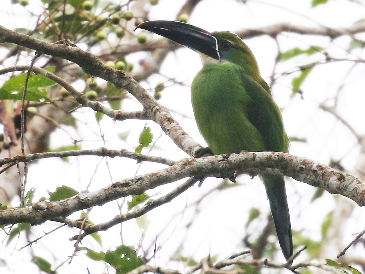 Chestnut-tipped Toucanet - Andrew Spencer