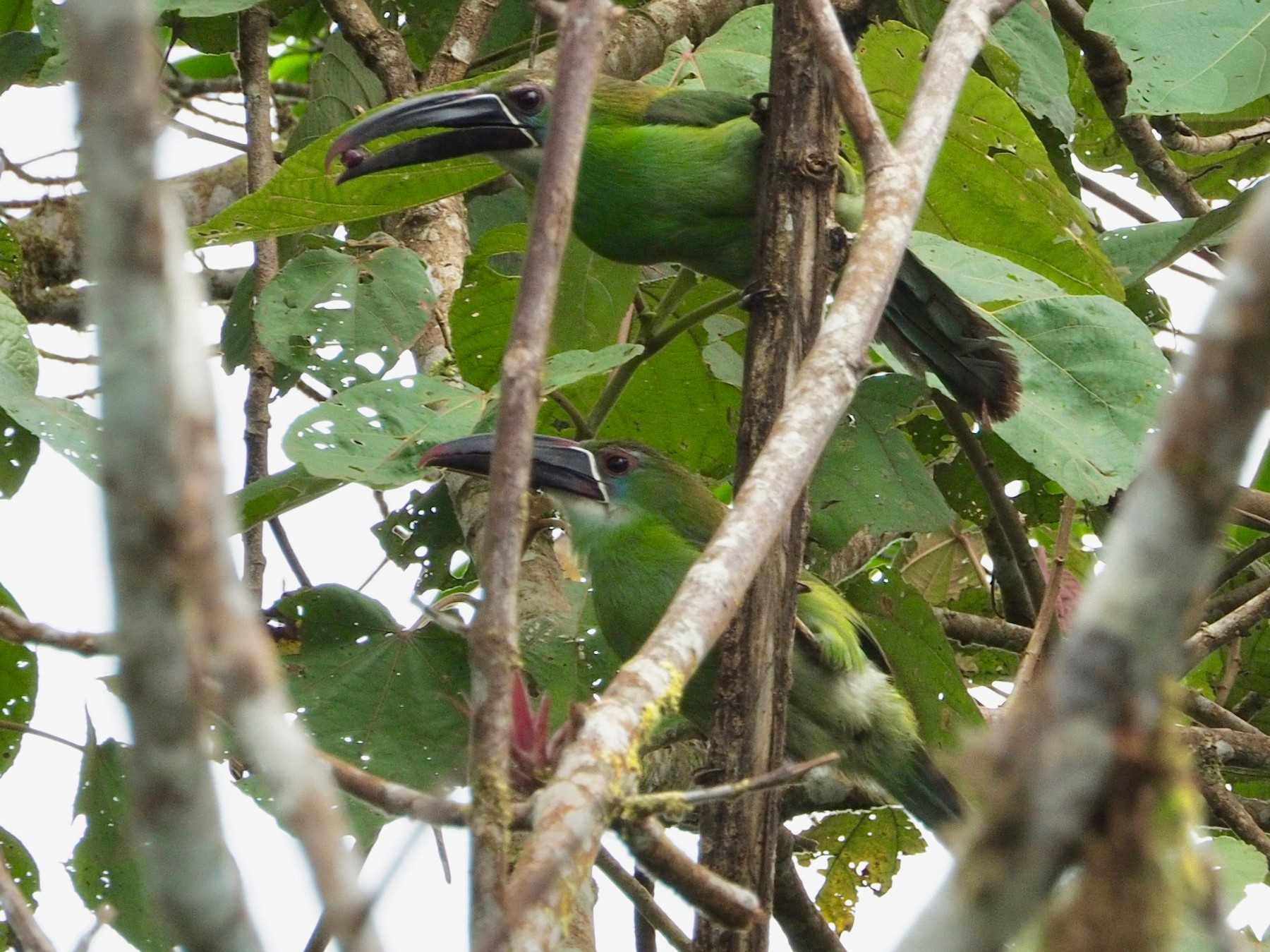 Chestnut-tipped Toucanet - Geraint Langford