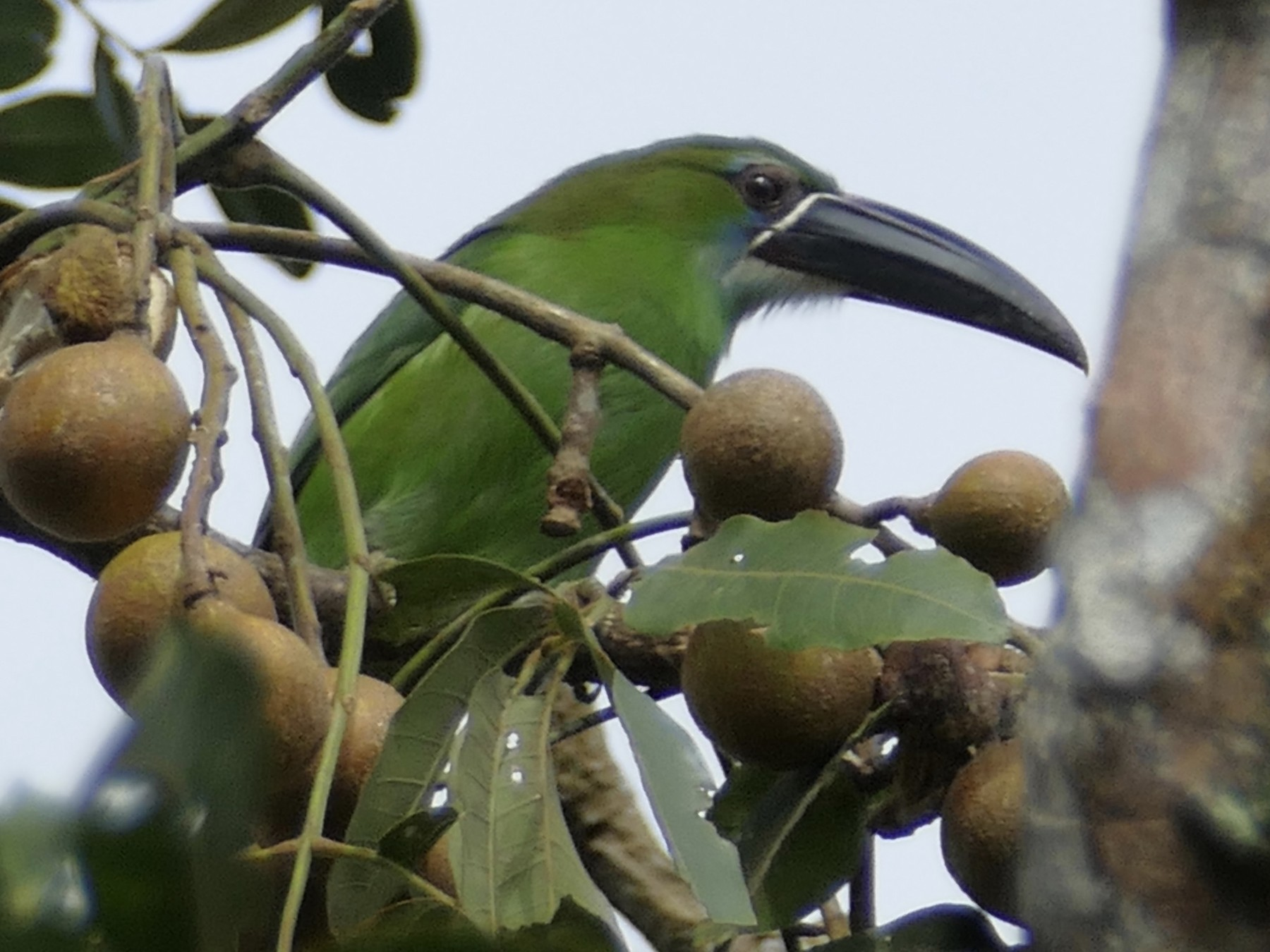 Chestnut-tipped Toucanet - Peter Kaestner