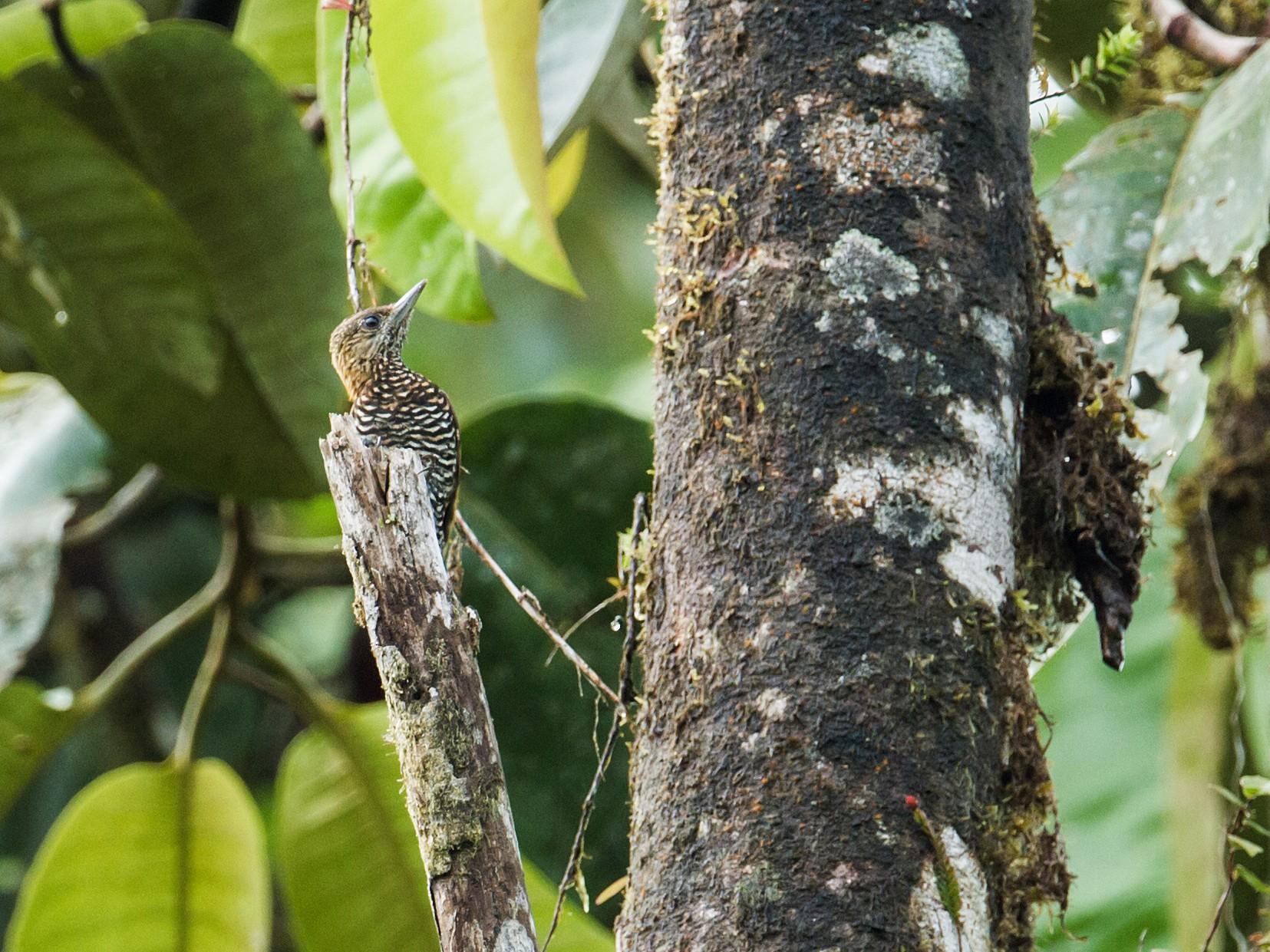 Choco Woodpecker - Nick Athanas