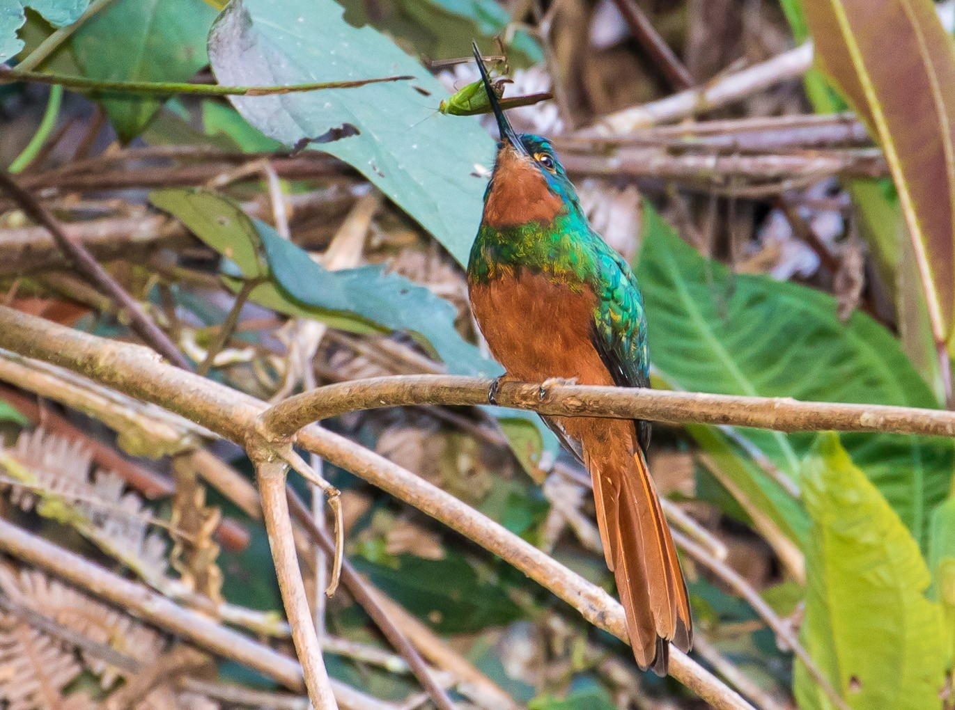 Coppery-chested Jacamar - graichen & recer