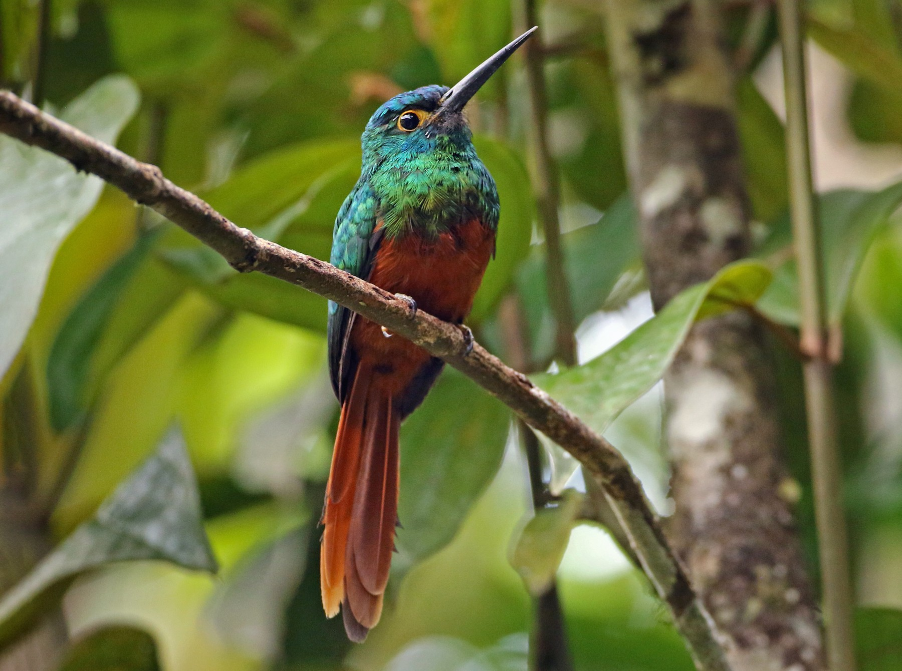 Coppery-chested Jacamar - Luke Seitz