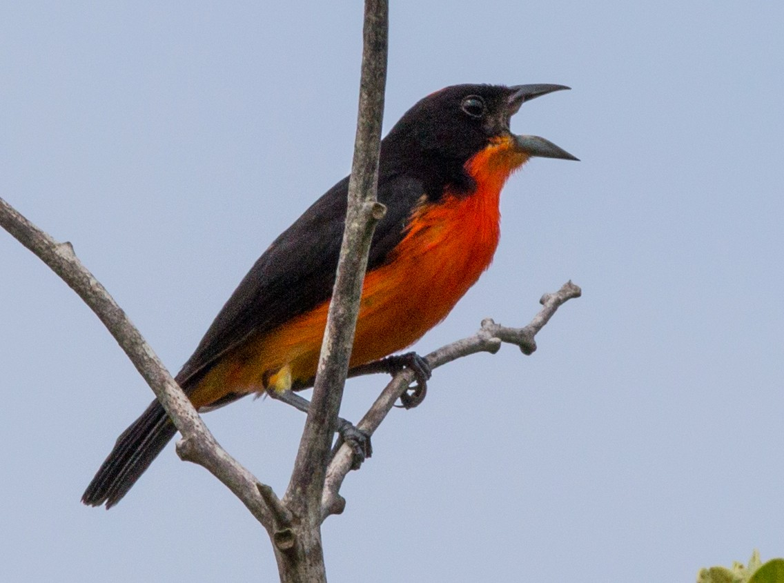 Crimson-breasted Finch - Bob Shettler