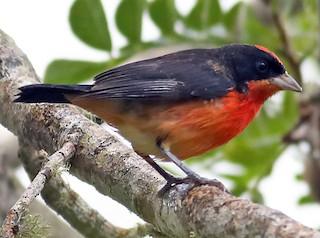 - Crimson-breasted Finch
