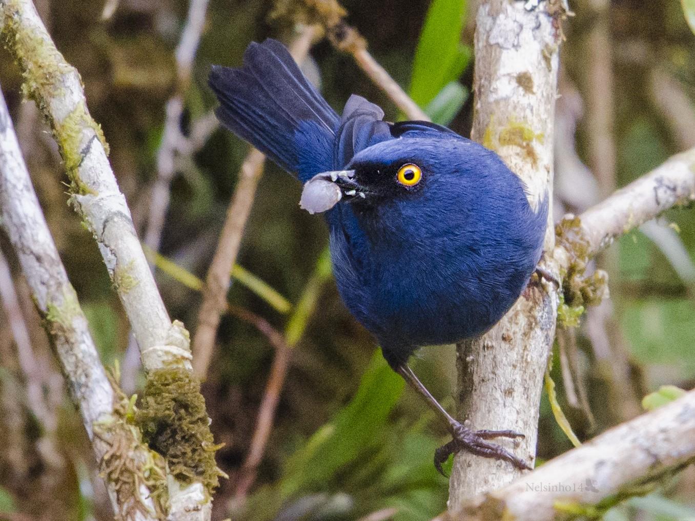 Deep-blue Flowerpiercer - Nelson Gustavo Monteros