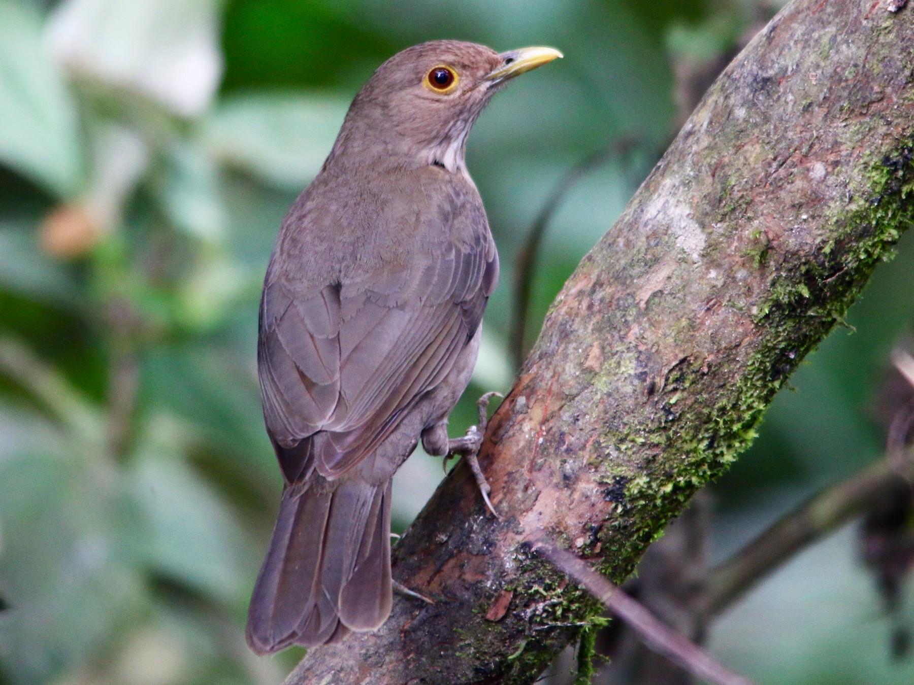 Ecuadorian Thrush - Gustino Lanese