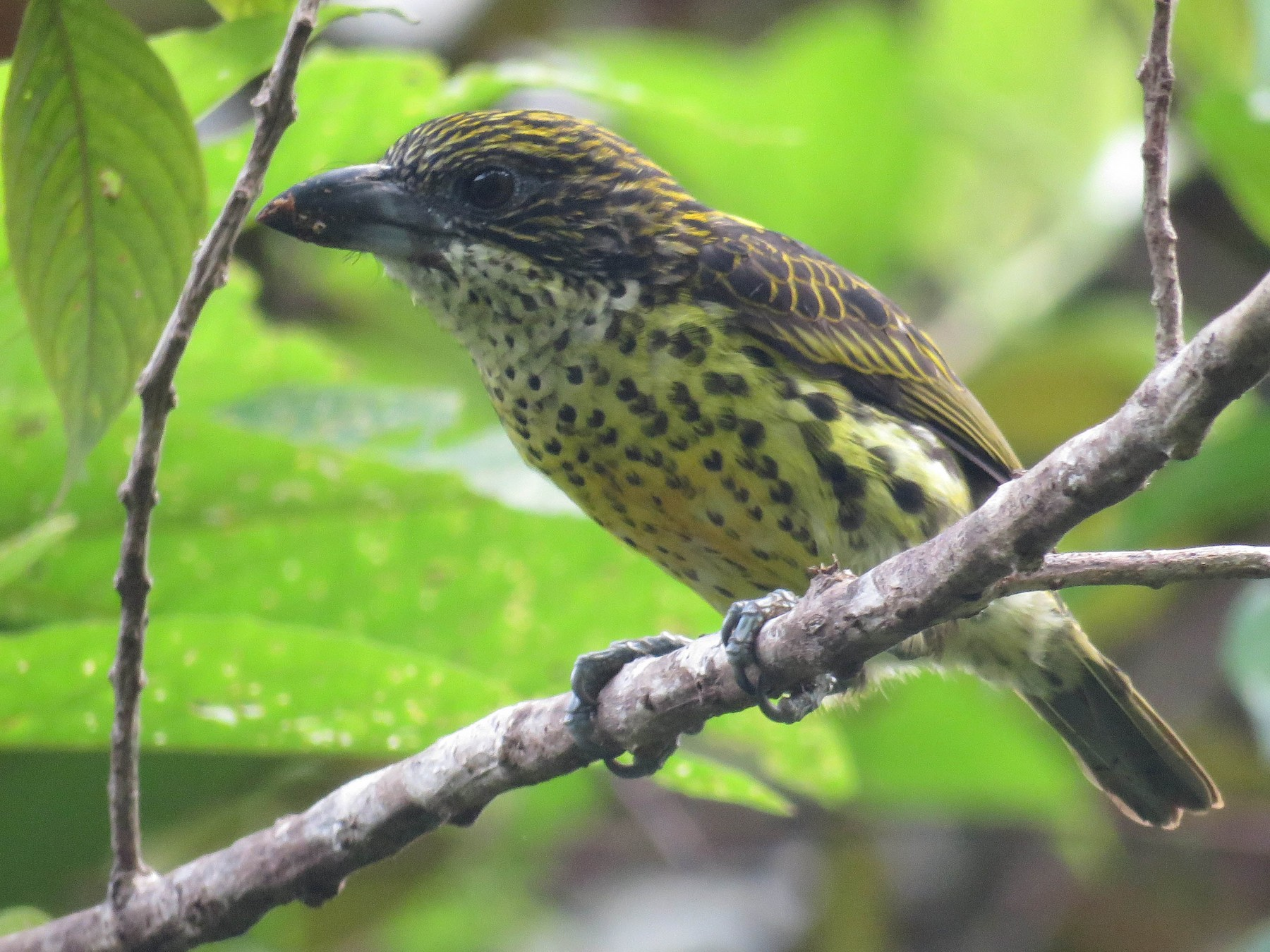 Five-colored Barbet - Juan Pablo Arboleda