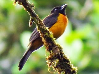 - Fulvous Shrike-Tanager