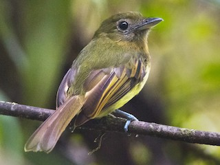- Fulvous-breasted Flatbill