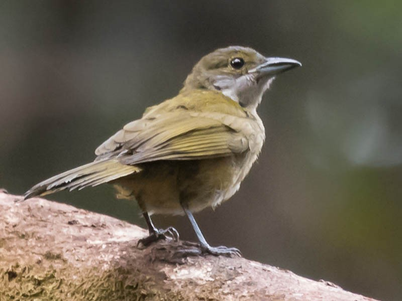 Fulvous-crested Tanager - Silvia Faustino Linhares