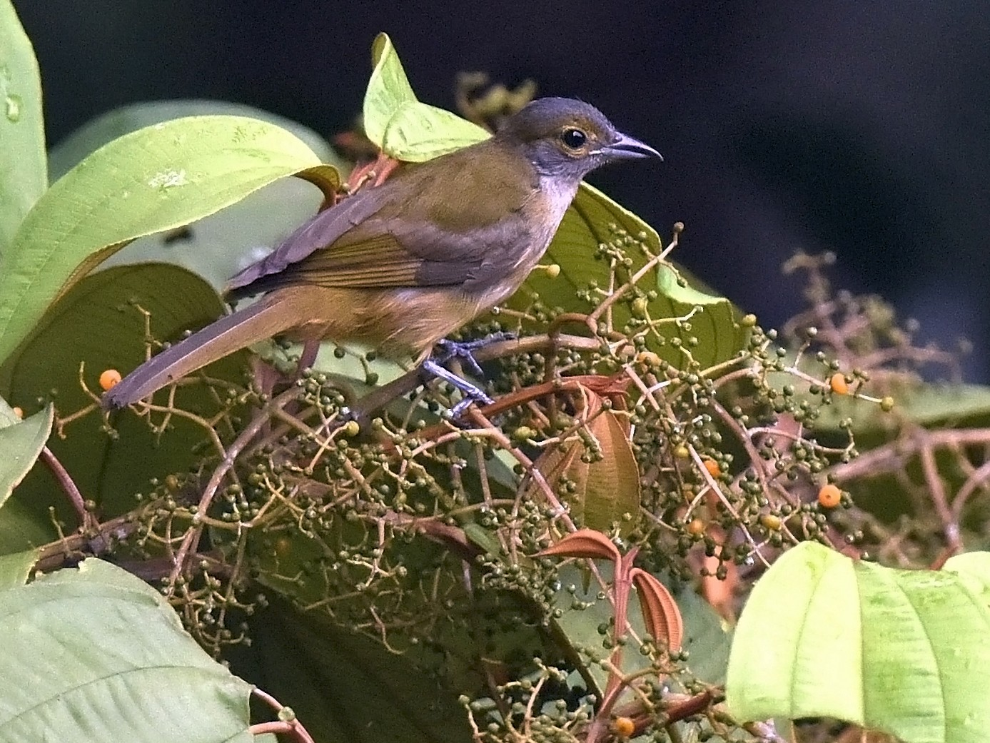 Fulvous-crested Tanager - Christoph Moning