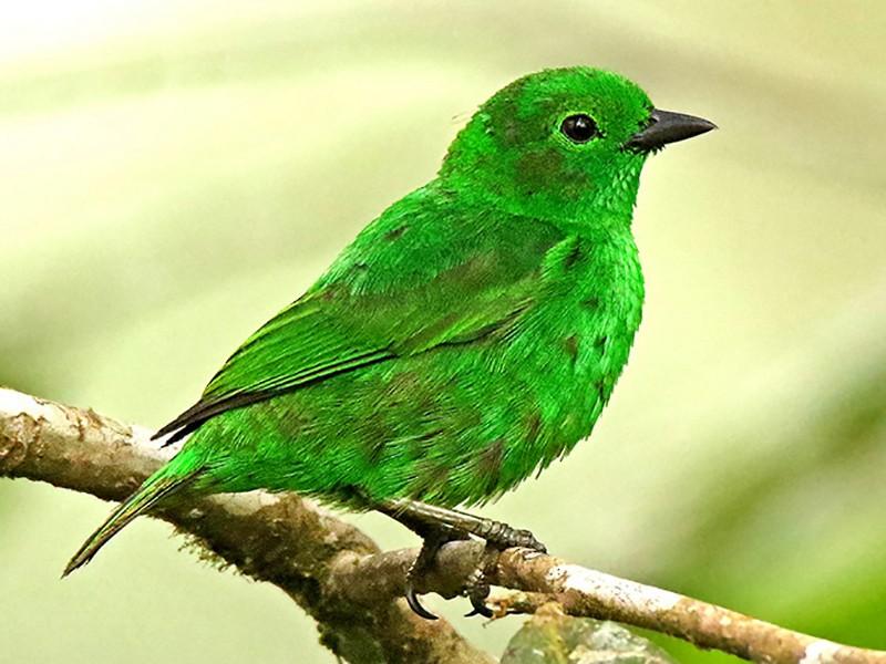 Glistening-green Tanager - Roger Ahlman
