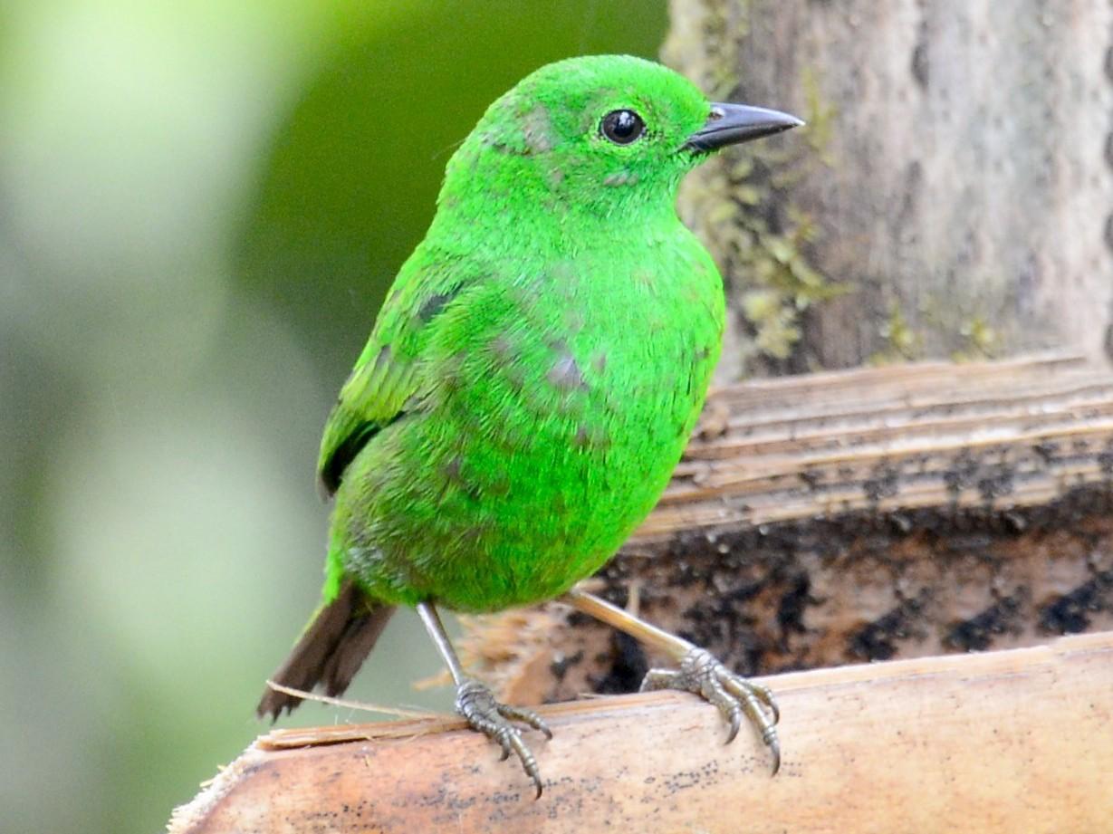 Glistening-green Tanager - Neil Wingert