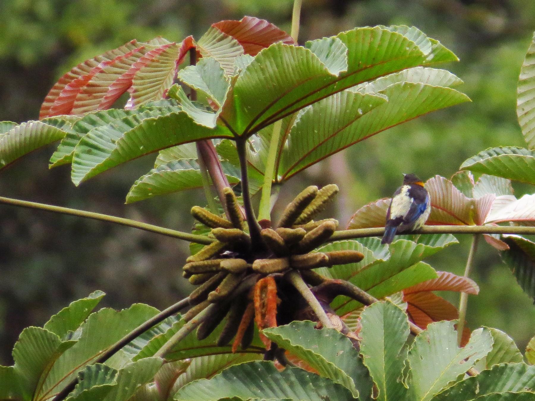 Golden-collared Honeycreeper - Jorge Muñoz García   CAQUETA BIRDING