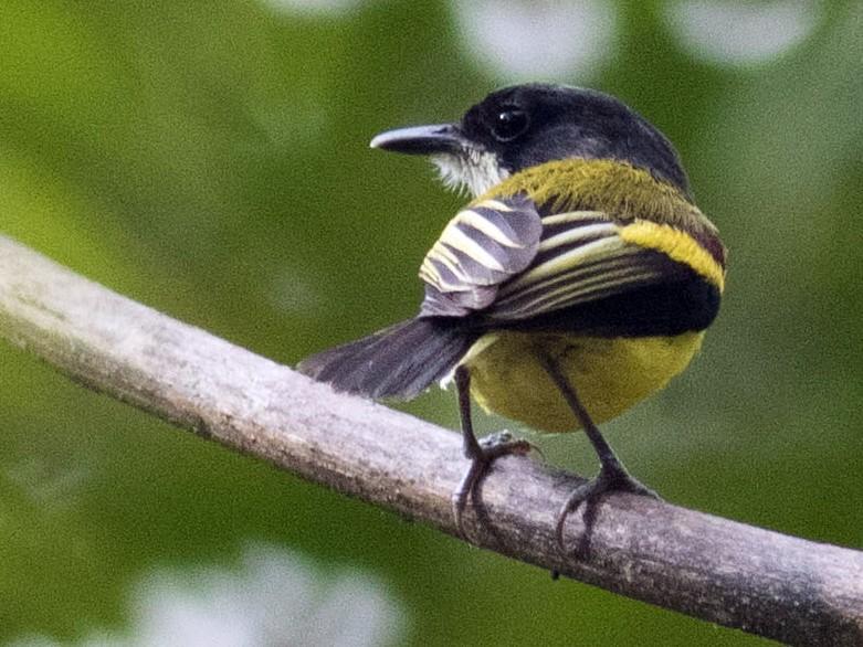 Golden-winged Tody-Flycatcher - matthew sabatine
