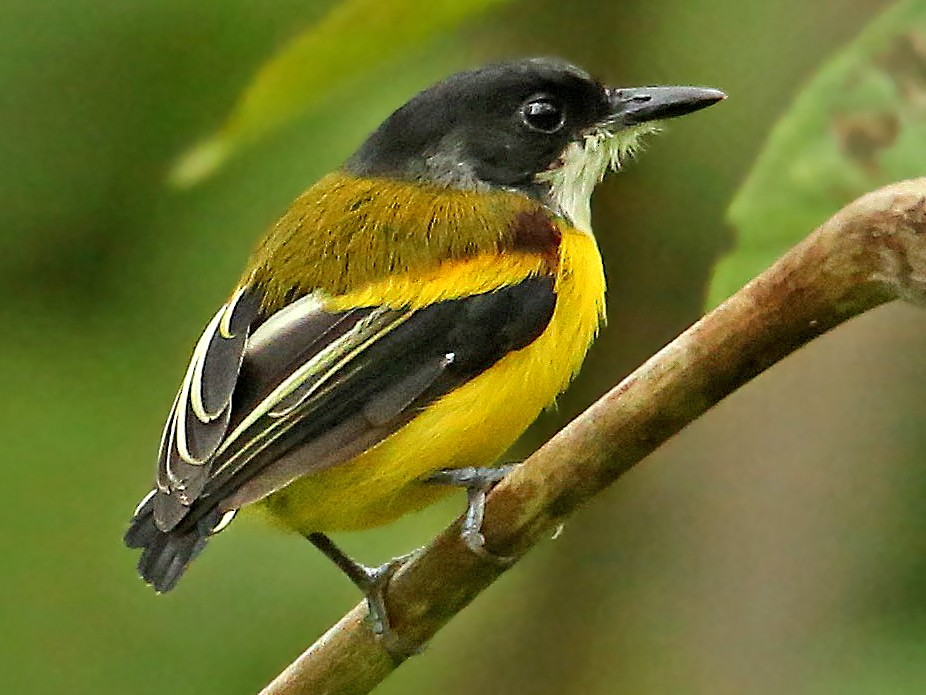 Golden-winged Tody-Flycatcher - Roger Ahlman