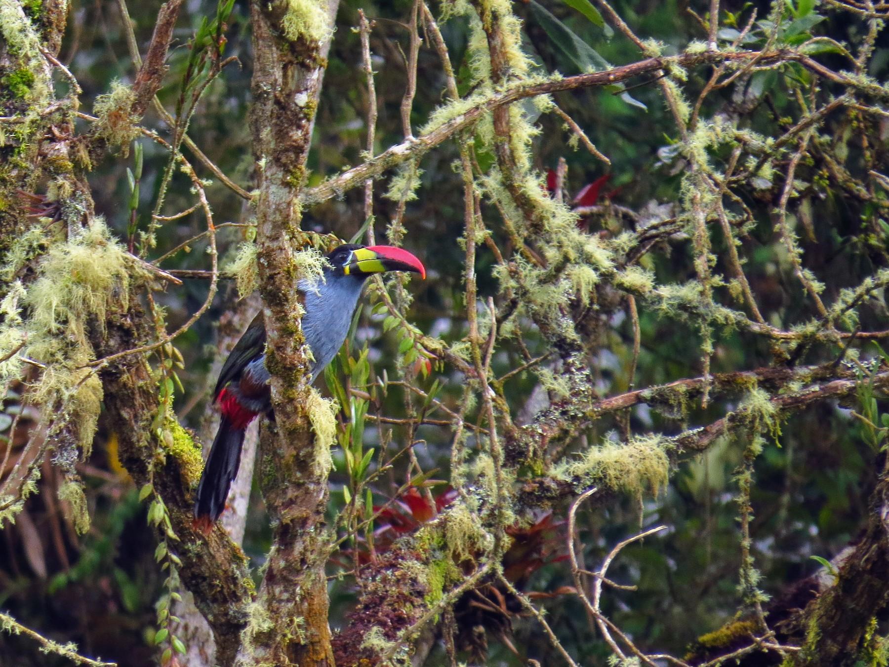 Gray-breasted Mountain-Toucan - Jorge Muñoz García   CAQUETA BIRDING
