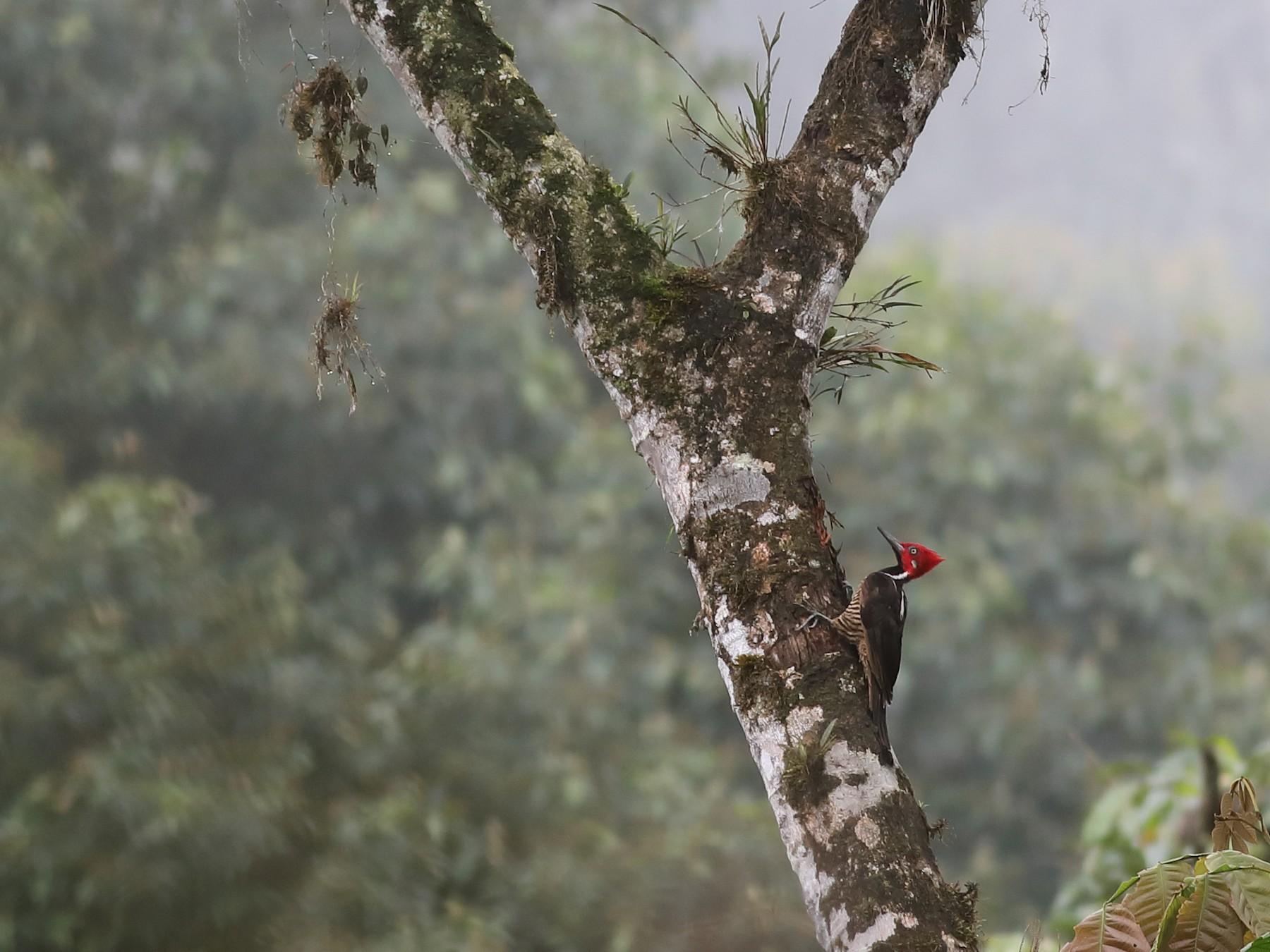 Guayaquil Woodpecker - Graham Montgomery