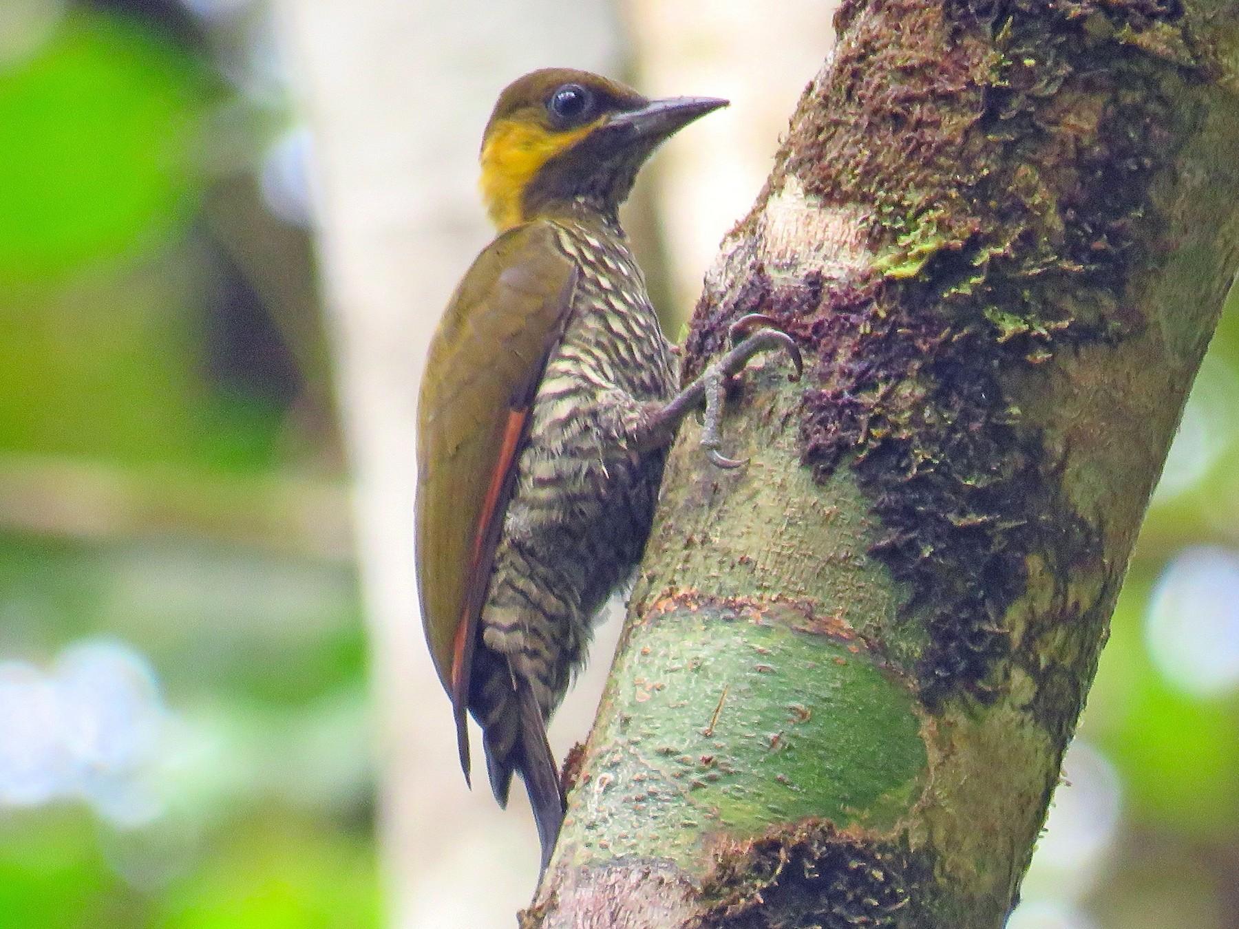 Lita Woodpecker - Timothy Forrester