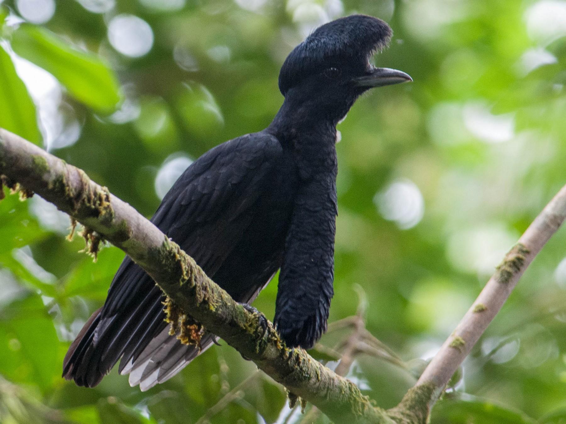 Long-wattled Umbrellabird - Stephen Davies