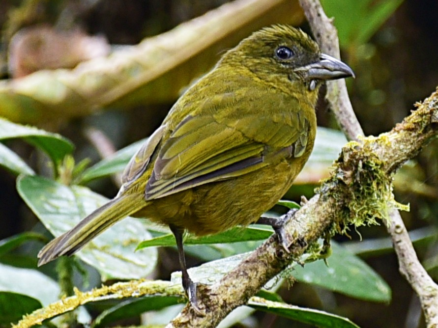 Ochre-breasted Tanager - Peter Lewis
