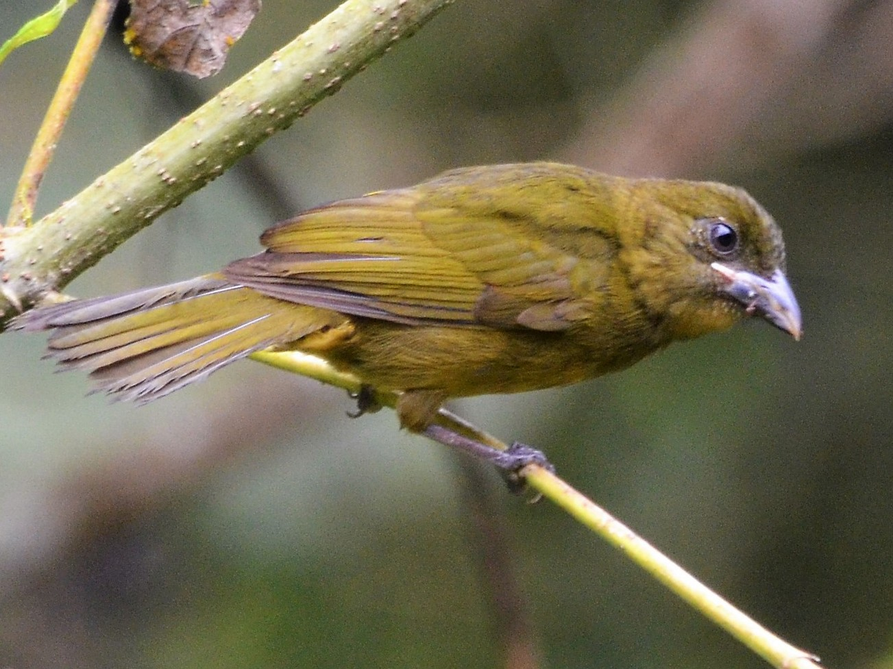 Ochre-breasted Tanager - javier lopez