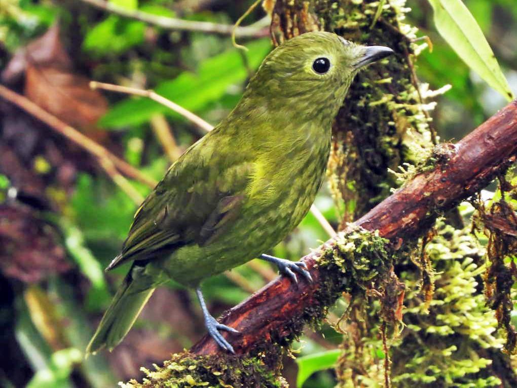 Olivaceous Piha - Johnnier Arango-B  | theandeanbirder.com