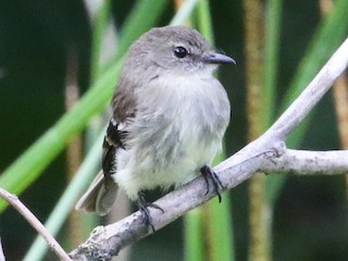 - Olive-chested Flycatcher