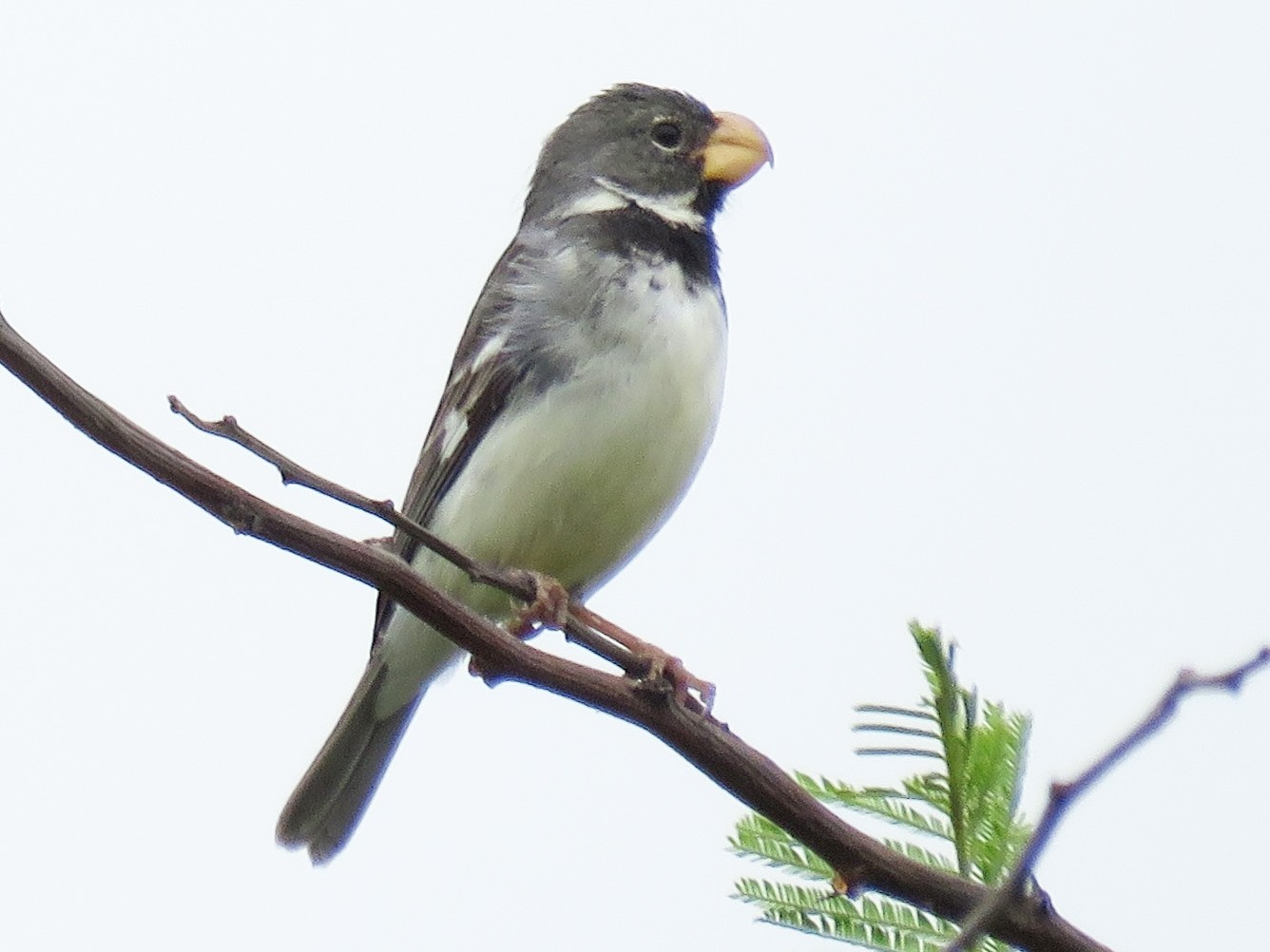 Parrot-billed Seedeater - Miguel  Alvan