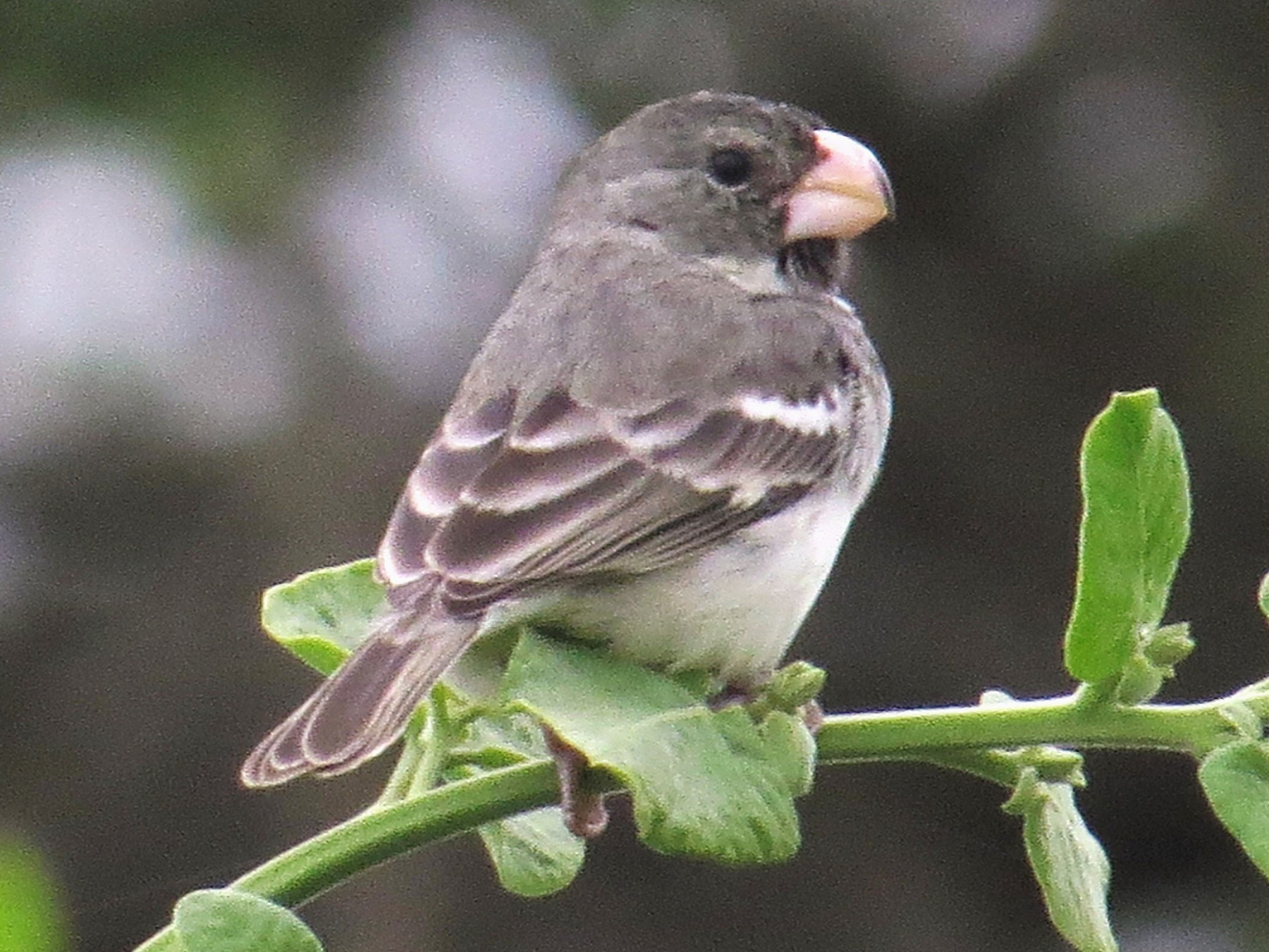 Parrot-billed Seedeater - WS Barbour