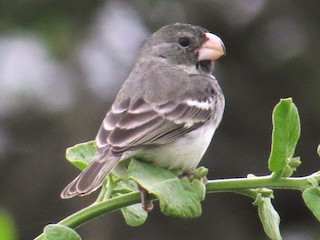 - Parrot-billed Seedeater