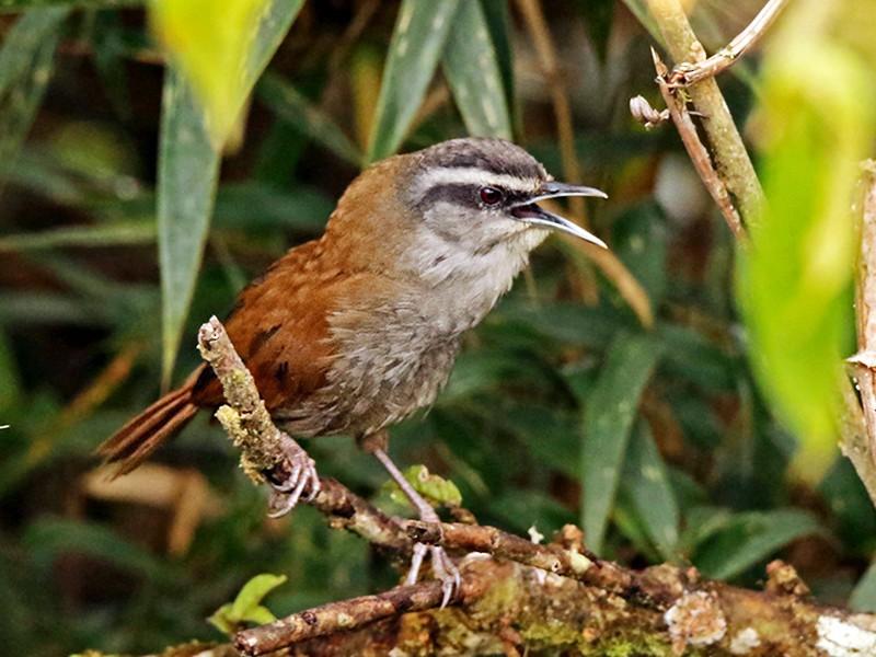 Plain-tailed Wren - Roger Ahlman