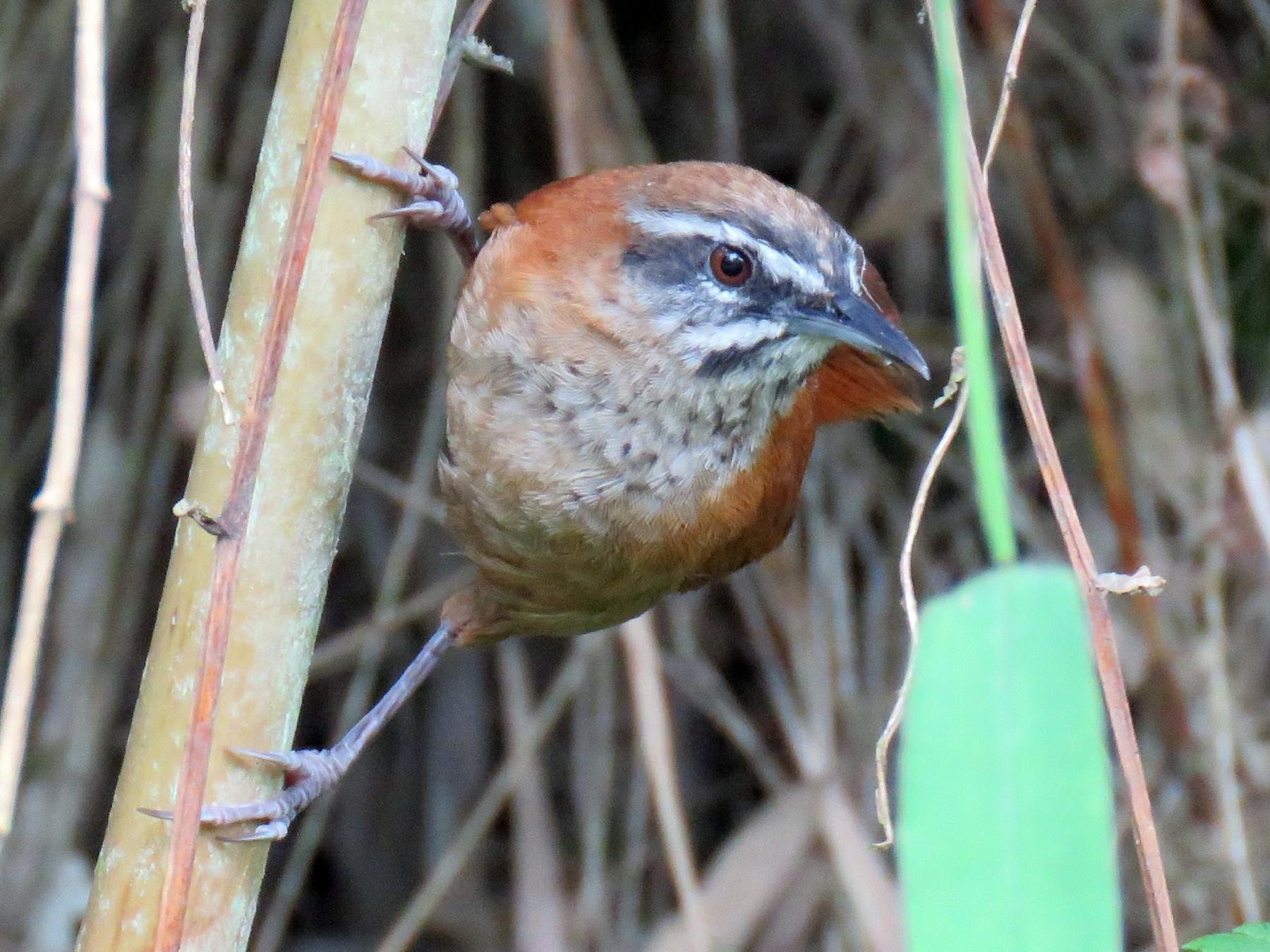 Plain-tailed Wren - Colin Dillingham