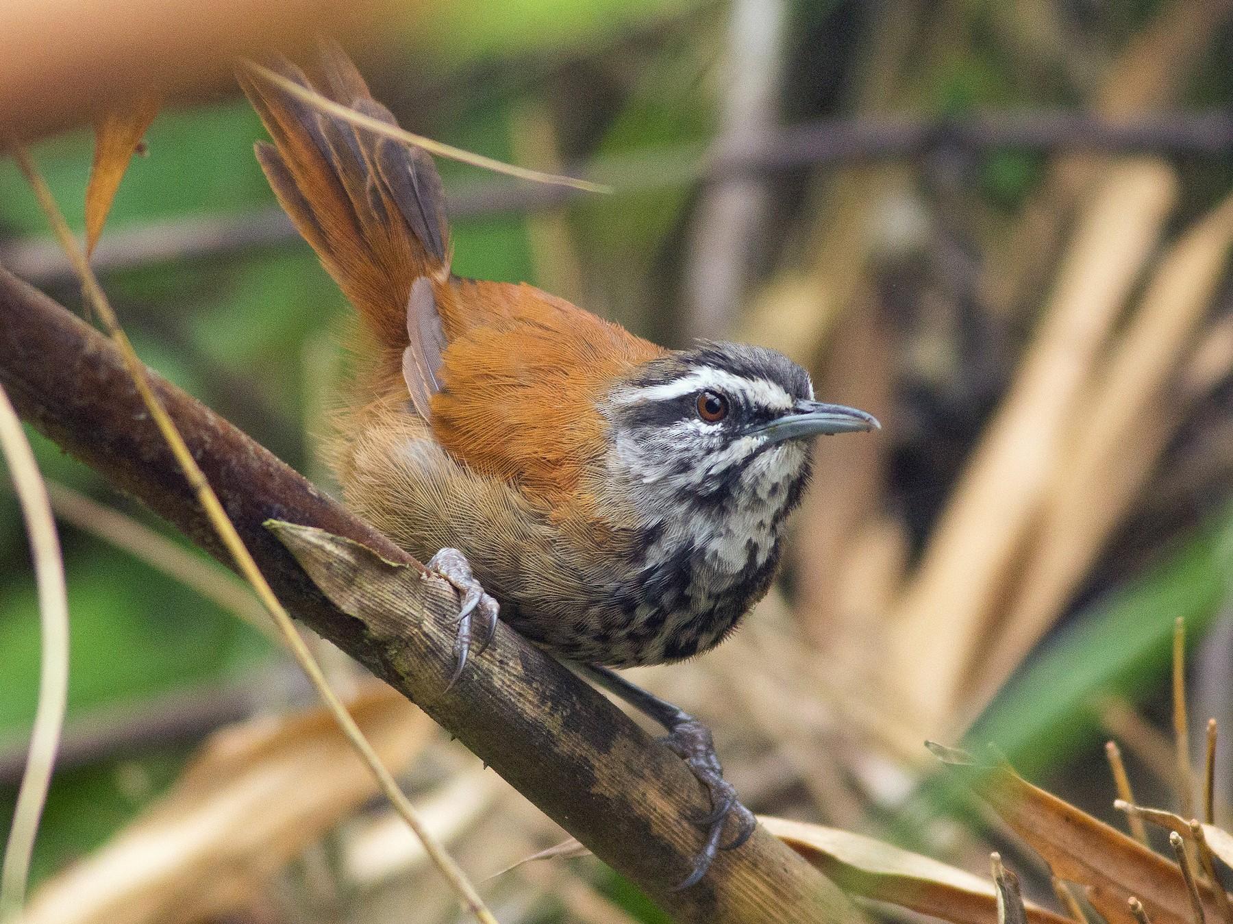 Plain-tailed Wren - Angus Pritchard