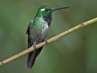 - Purple-bibbed Whitetip