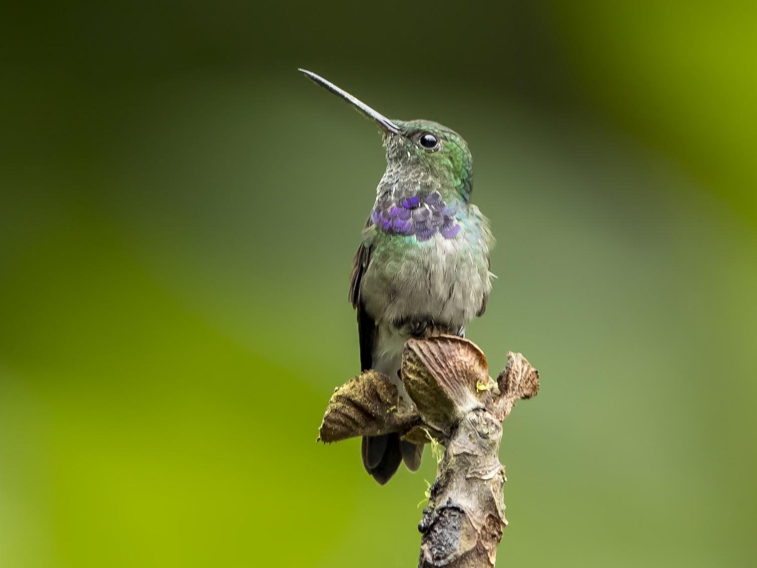 Purple-chested Hummingbird - Peter Hawrylyshyn