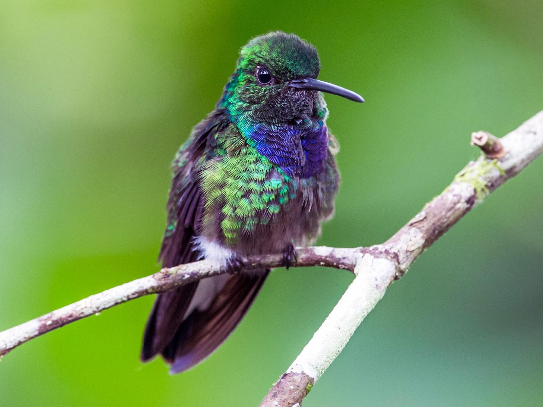Purple-chested Hummingbird - Nick Athanas