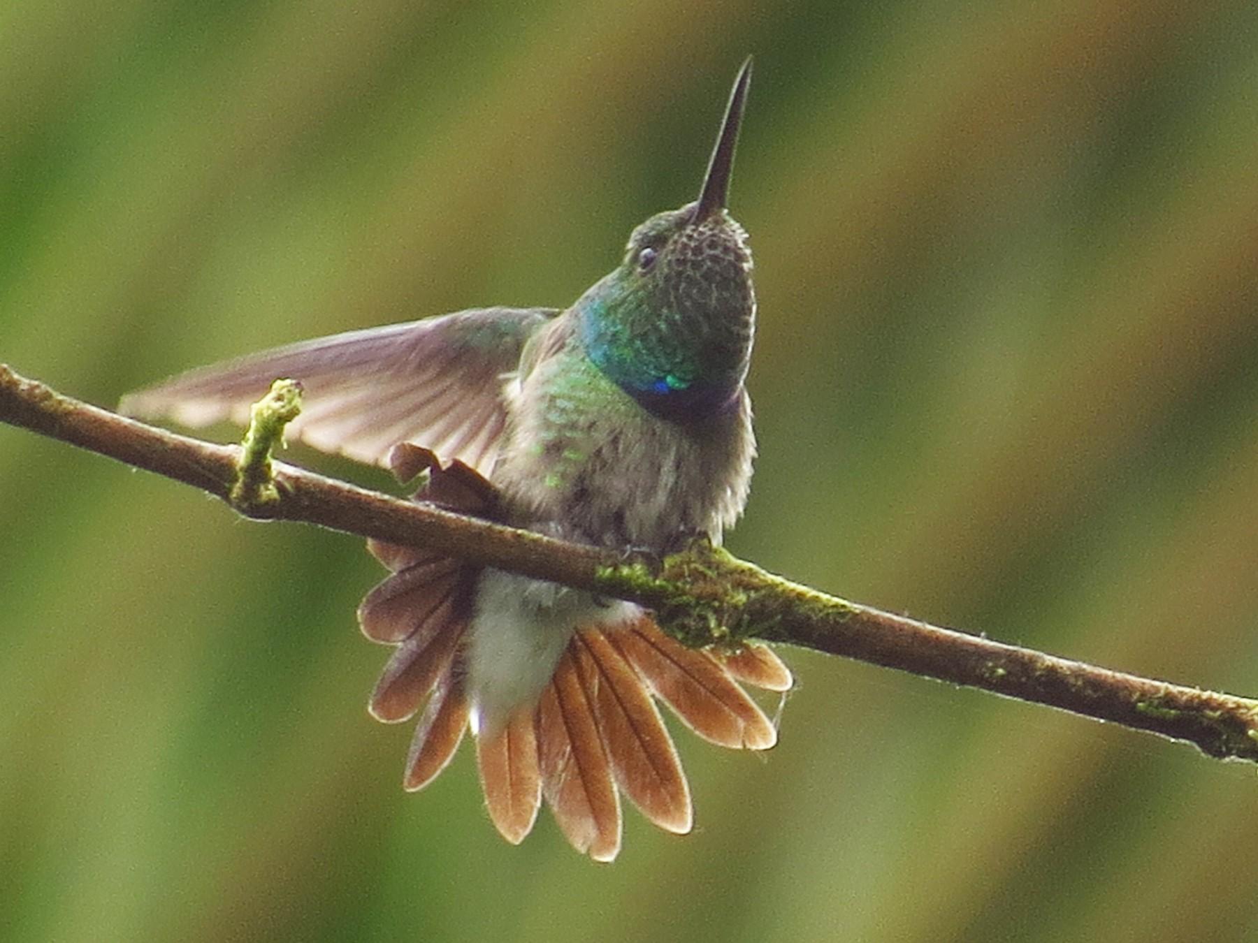 Purple-chested Hummingbird - Jorge Muñoz García   CAQUETA BIRDING