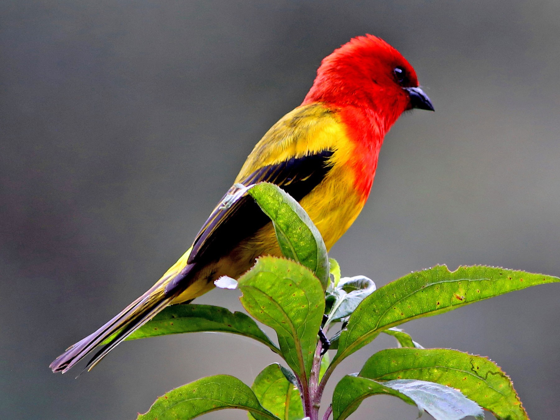 Red-hooded Tanager - Rohan van Twest