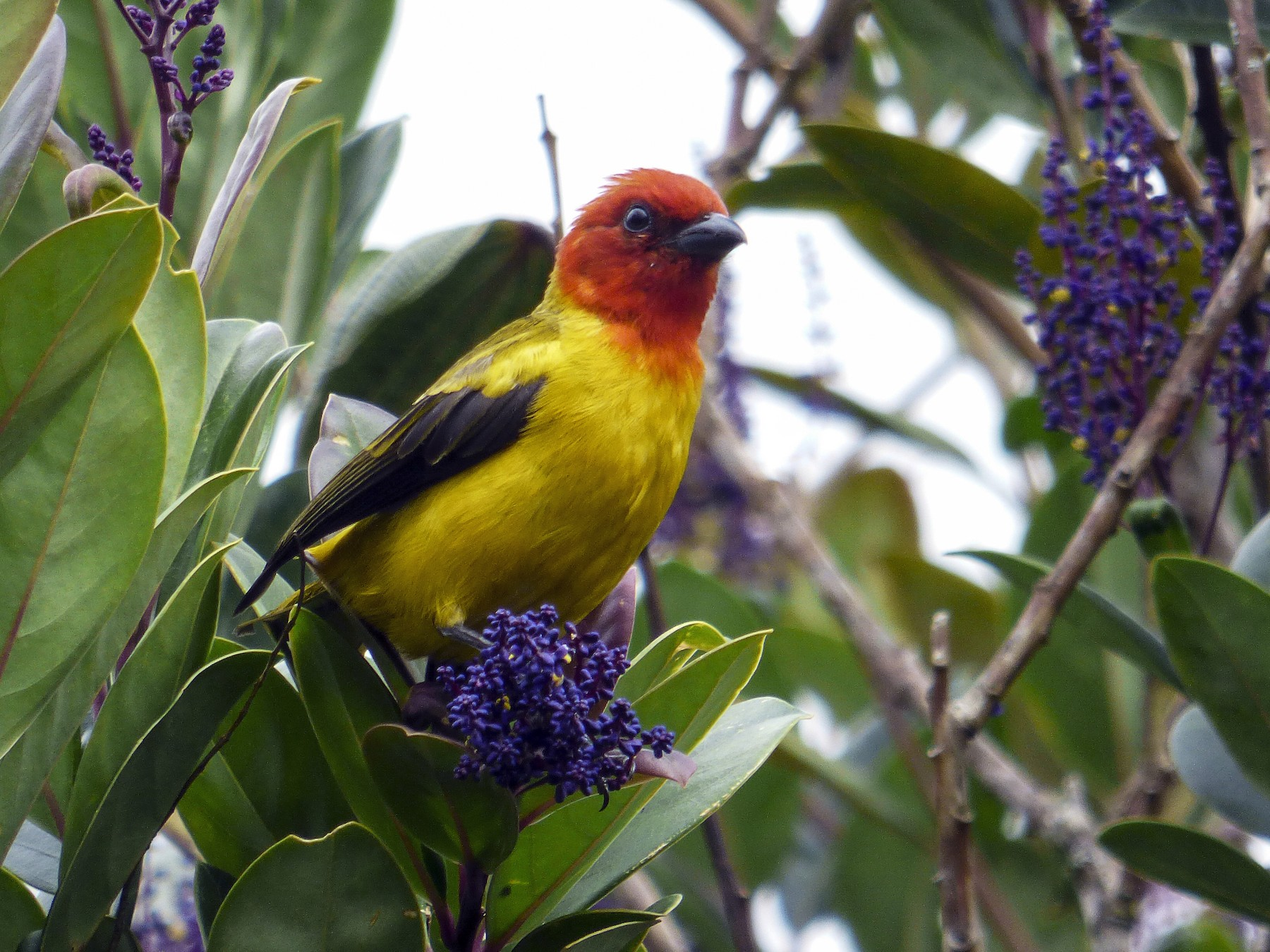 Red-hooded Tanager - Diego Rocha Lopez