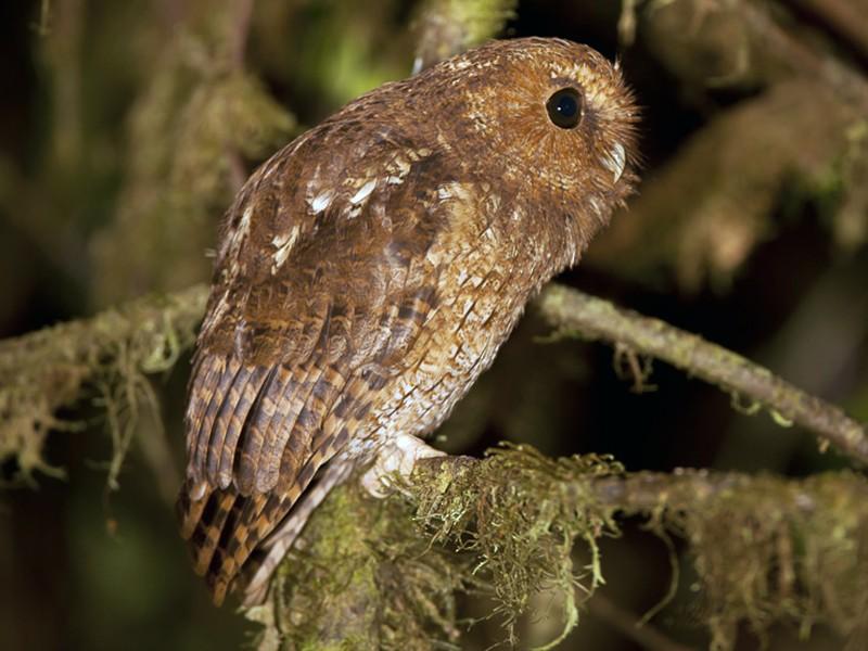 Rufescent Screech-Owl - José Ardaiz Ganuza