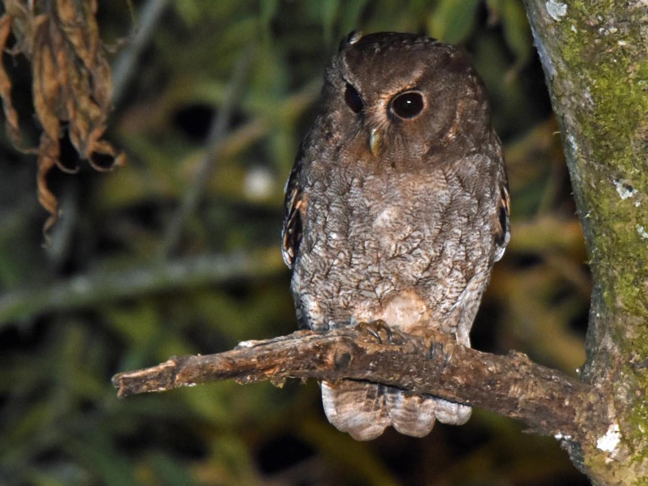 Rufescent Screech-Owl - Tini & Jacob Wijpkema
