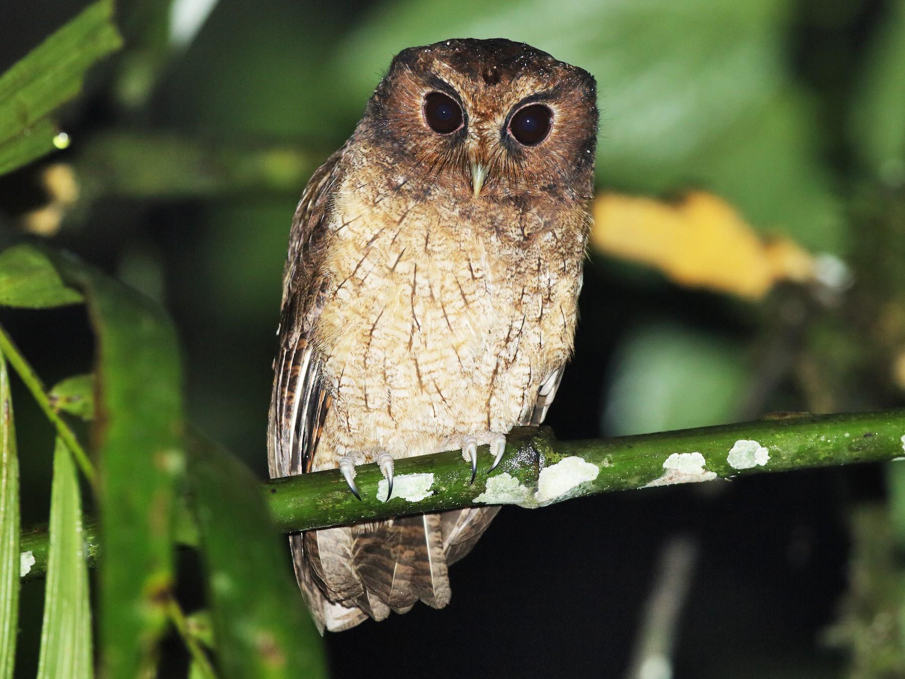 Rufescent Screech-Owl - Nick Athanas